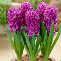 Hyacinth Purple Sensation
